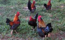 feedingchickens
